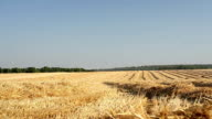 sloping field of wheat in the autumn video