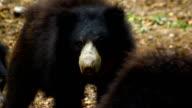 sloth bear video