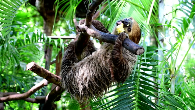 Sloth in Tree video