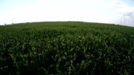 Slow low flight over a field of peas in bloom video