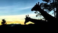 Slow motion at 240fps of giraffe eating, silhouette video