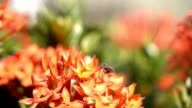 Slow motion bees flying collecting pollen from red flowers video