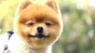 slow motion, close-up face pomeranian dog video