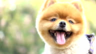 slow motion, close-up face grooming short hairstyle bear, smiling pomeranian dog video