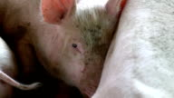 Slow motion eye pig sleeping in farm video