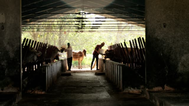 Slow Motion Farmers Feeding Cows In Ranch Peasants Working video