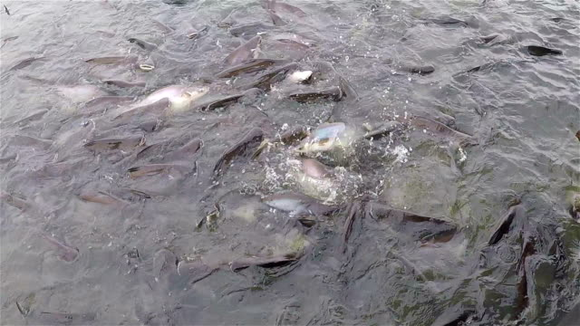 Slow motion: Fishs snakehead is eating food. video