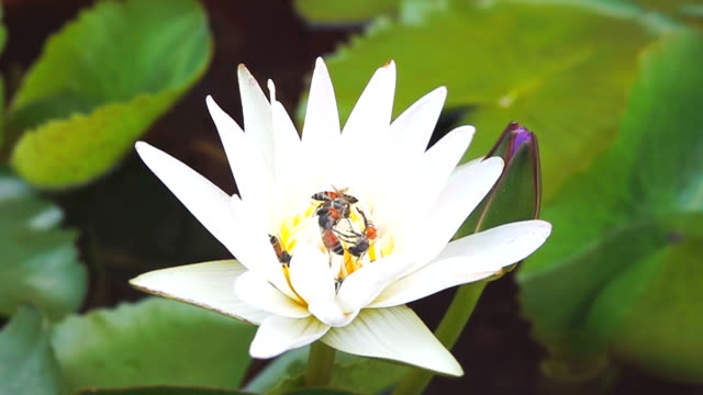 slow motion HD: Bees on the white lotus video