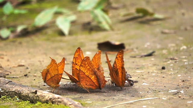 Slow motion HD: Butterfly in Forest. video