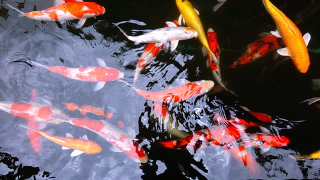 Slow Motion HD: Koi fish in pond video