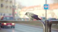slow motion: jackdaw and car video
