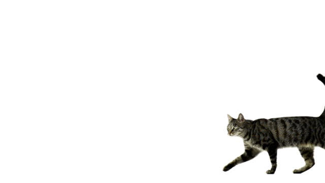 Slow motion of a cat walking and looking up video
