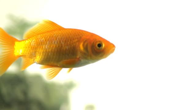 Slow Motion Of A Curious Goldfish Exploring Fish Tank video