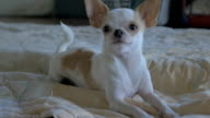 Slow motion of a cute chihuahua laying on a blanket video