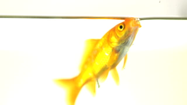 Slow Motion Of A Goldfish Drinking Water At The Surface video