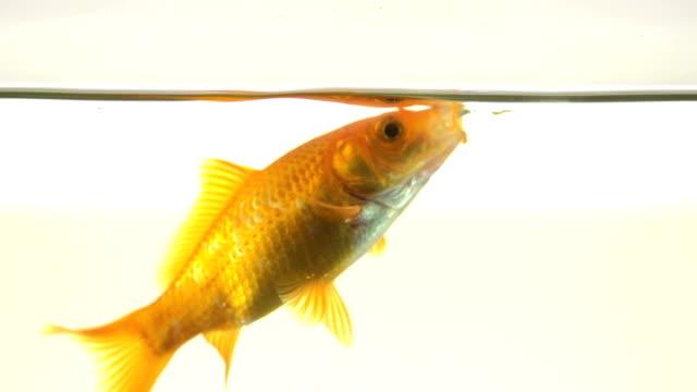 Slow Motion Of A Single Goldfish Isolated On White Background video