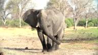 Slow motion of elephant bull and herd dust bathing,Okavango Delta video