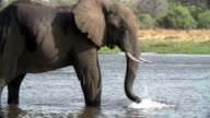 Slow motion of elephant bull praying water over himself,Botswana video