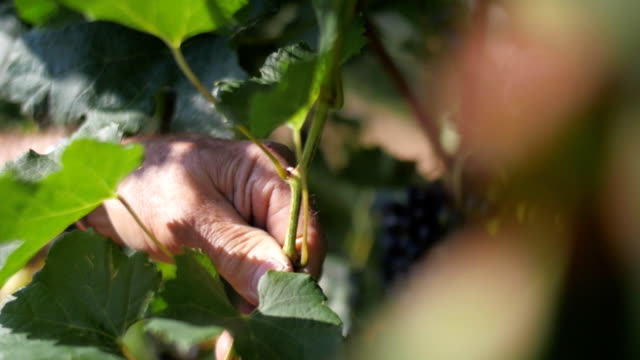 Slow motion of farmer's hands cutting a grape branch video