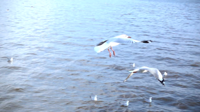 Slow motion of Group of seagulls on sea video