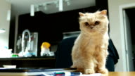 Slow motion of persian cat walking through camera on table video