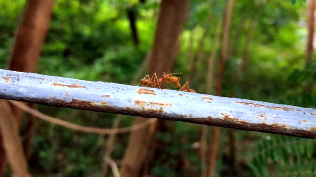 Slow Motion of Red Ant video