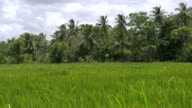 Slow motion: Palm trees and rice field video
