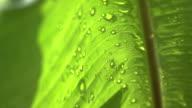 slow motion rain drop on to banana leaf video