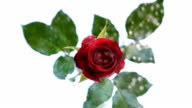 Slow motion red rose video