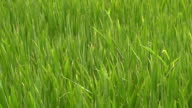Slow motion: rice field, close up video