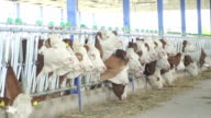 Slow motion: Row of cows in dairy farm video
