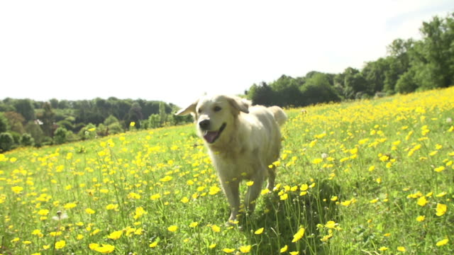 Slow Motion Sequence Of Golden Retriever Running In Field video