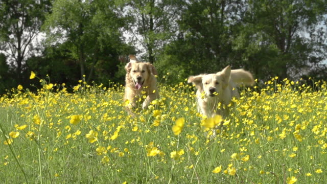 Slow Motion Sequence Of Two Golden Retrievers In Field video