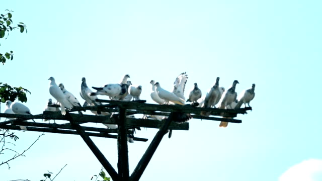 Slow motion shot of a flock of white pigeons at dovecote video