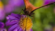 Slow Motion shot of a Peacock butterfly on a purple flower video