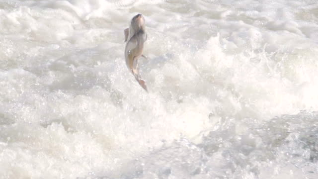 Slow motion shot of a salmon fish jumping out of river rapids to swim upstream to spawn video