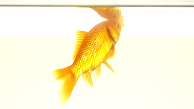 Slow Motion Shot Of A Single Goldfish In Its Back video