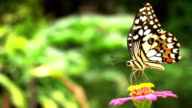 Slow motion shot of butterfly feeding nectar from field of pink flowers video