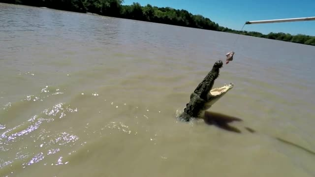 Slow motion shot of Saltwater Crocodile jumping to grab meat from tourist boat, Australia video