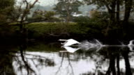 Slow Motion Swan Taking Flight video
