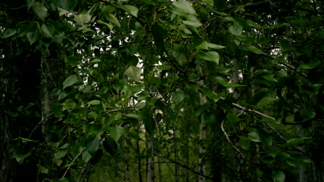 Slow motion. The branches of the poplar are swaying in the wind video