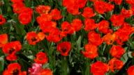 Slow motion top view of red tulips field video