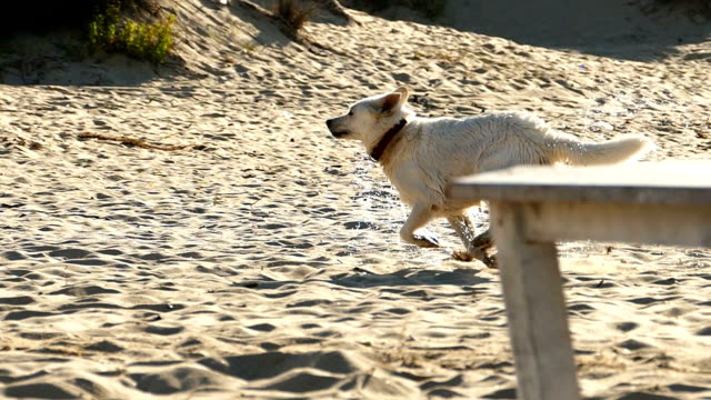 HD Slow motion Two dogs running on the beach video