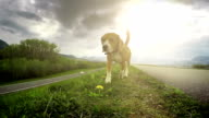 A slow motion video: beagle exploring new ground through the ability to sniff video