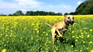 Slow Motion: Whippet Running Through Buttercups video