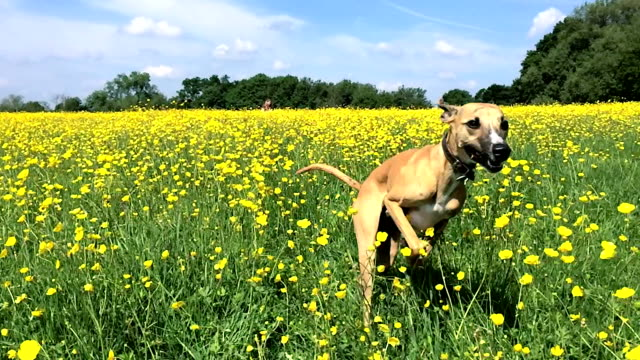 Slow Motion: Whippet Running Through Buttercups video