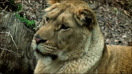 Slow motion with a lion on a tree trunk resting video