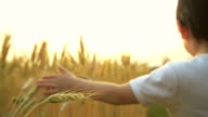 HD slow motion:Baby boy in a ripe golden wheat field holding and touching the crop. video