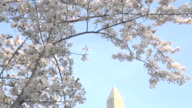 Slow Pan Down to Washington Monument With Blossoms video