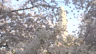 Slow Pan of Blossoms In Front of Washington Monument video